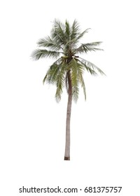 coconut tree isolated on white background,plant found throughout in seaside tropical.