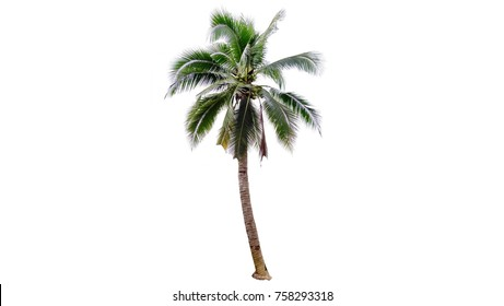 Coconut tree isolated on a white background