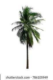 Coconut tree isolated on white background, with clipping path.