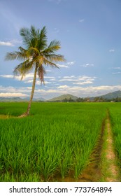 coconut tree in the middle of rice field