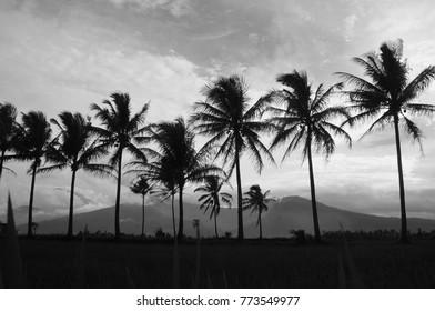 coconut tree in my village