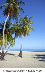 Coconut tree on an empty beach in the Maldives with blue sky