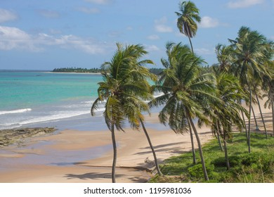 Coconut tree on the Japaratinga beach  in Alagoas