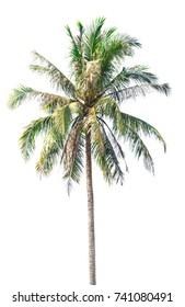 Coconut tree on white background,Coconut tree on isolated on white background,plam tree.