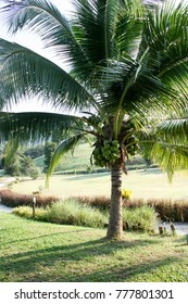 Coconut tree  on the yard