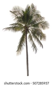 Coconut tree or palm tree on isolated.