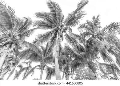 Coconut tree and palm tree style black and white.