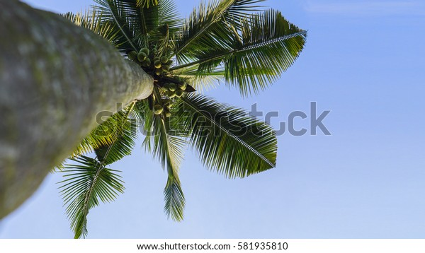 Coconut tree perspective view against blue sky.