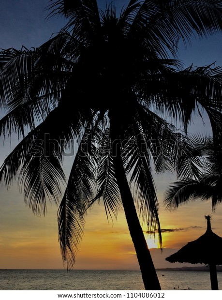 Coconut tree in silhouette at sunset