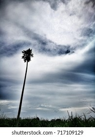 A coconut tree standing in the field