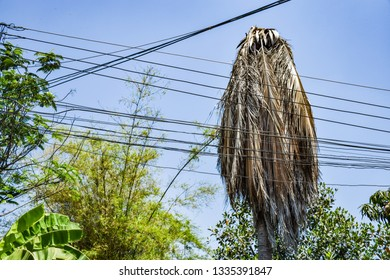The coconut tree was struck by lightning.