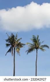 Coconut tree in sunshine day