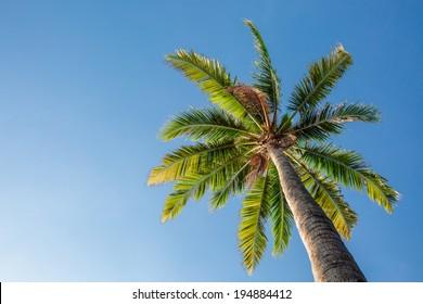 Coconut tree under blue sky in summer