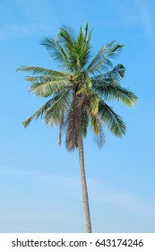 Coconut tree under the blue sky and white clouds on a summer day.