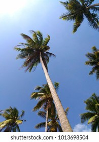 Coconut tree view from below with blue sky background.