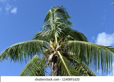 coconut tree in windy blue sky