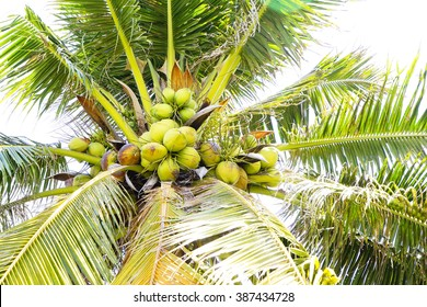 Coconut tree:Close up,select focus with shallow depth of field:ideal use for background.