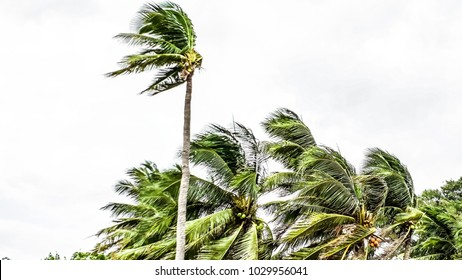 Coconut trees are being wind, are in the park , soft focus , out of focus , blureed.