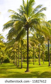 Coconut trees in Cairns