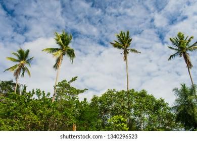 Coconut trees in the countryside of Itamaraca Island (Brazilian Northeast)