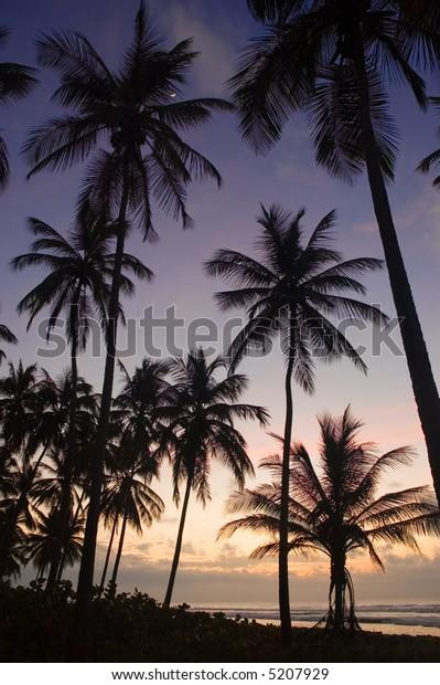 Coconut trees at dusk