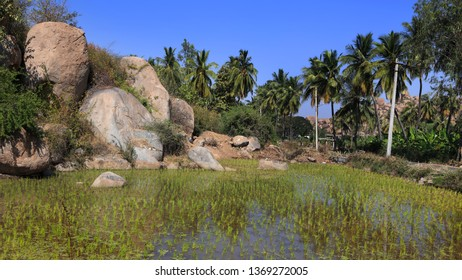 Coconut trees and fields  in the rural Karnataka state