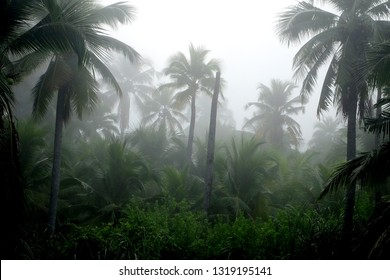 Coconut Trees In Fog of Morning.