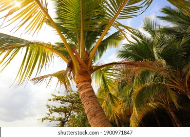 Coconut trees in full bloom in Sanya, Hainan Province, China