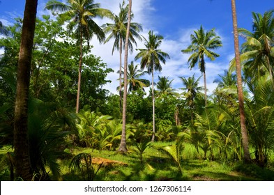 Coconut trees and green foliage behind the Ao Nang beach, Krabi province, Thailand