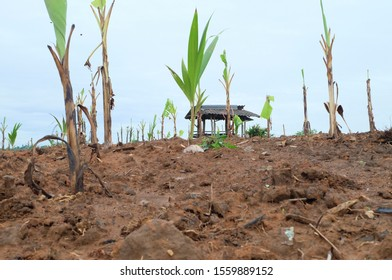 Coconut trees are growing on arid soil.