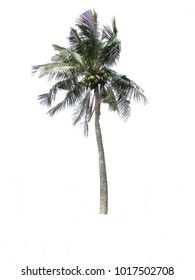 Coconut trees hit the wind on a white background