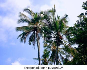 Coconut Trees with Manilkara Zapota And The Sky Scenery At Banjar Kuwum, Ringdikit, North Bali, Indonesia