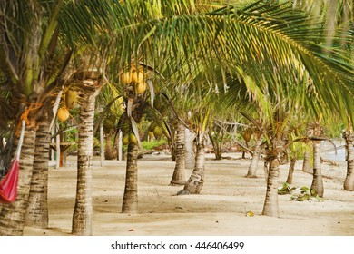 Coconut trees on a beach in Belize