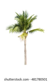 Coconut trees on white background
