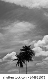 Coconut trees are outstanding under the sky : black and white background