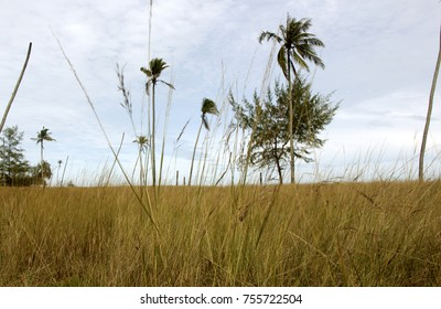 Coconut trees and pine tree in the middle of dry grass and blue sky.