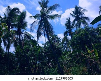 Coconut Trees Scenery In The Plant Field