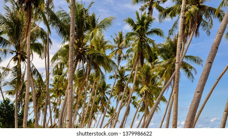 Coconut Trees - Siquijor Island, Philippines