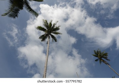 Coconut trees, the sky was background.