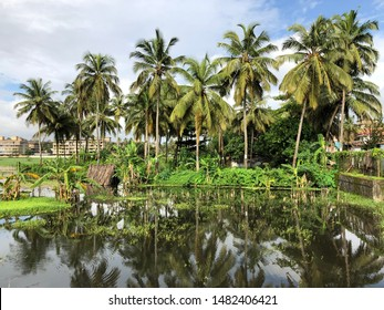 Coconut trees tower over the Goan landscape. These trees are indigenous to Goa, India. Coconuts are widely used in Goan food while the trees themselves are used for making furniture, boats, etc.
