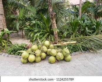 Coconut in the tropical garden, Nha Trang, Vietnam