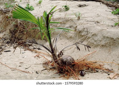 A coconut, washed up by the waves, catches roots and grows on a beach in the Nicobar Islands.