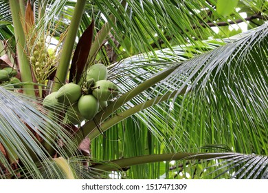 Coconuts growing on a coconut tree in a tropical forest, close-up