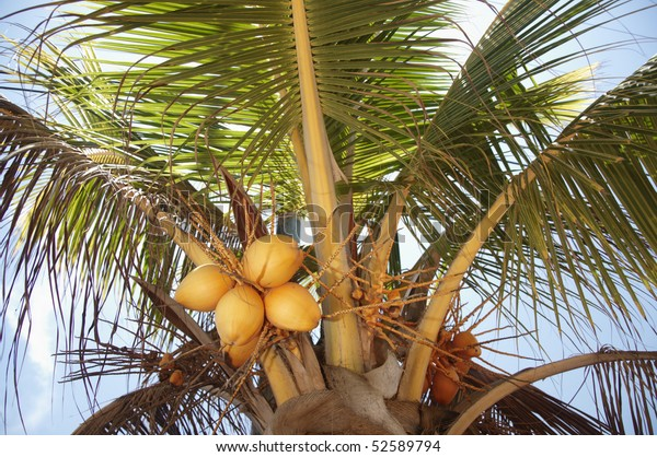 Coconuts Growing On Palm Tree Belize Stock Photo Edit Now 52589794
