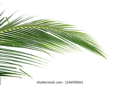 Coconuts leaf on white backgrounds.