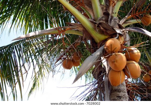 coconuts in malaysia