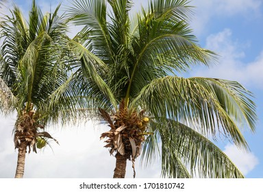Coconuts on a palm tree in a park. Nature in the tropics.