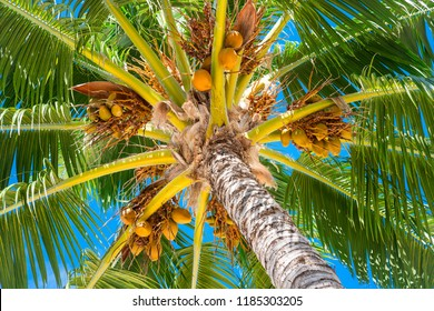 Coconuts on tree with blue sky