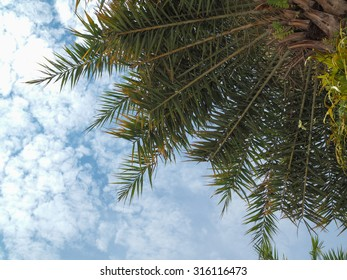 Coconuts palm tree perspective view from floor high up