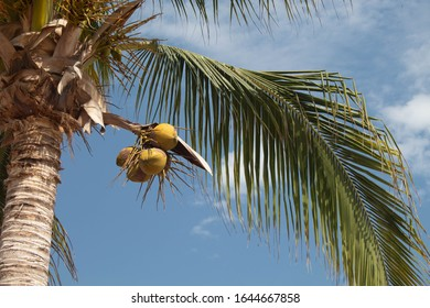 coconuts in a plamtree with blue sky and some clouds
